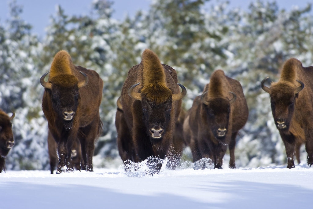 bisons hiver