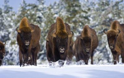 Le Parc des Bisons d'Europe
